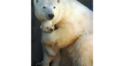 Appeals court protects polar bears in Alaska