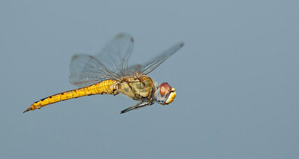 This tiny dragonfly migrates the longest distance of any insect