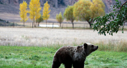 Yellowstone's grizzly bears are back (+video)