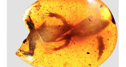 These 12 lizards were trapped in amber for 99 million years