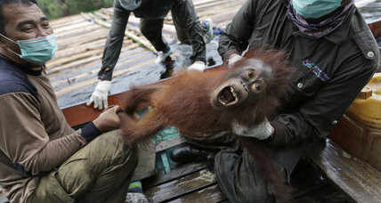 8,000 more Sumatran orangutans than we thought, but worries remain