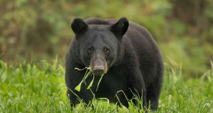 Good news for teddy: Louisiana black bear is no longer threatened