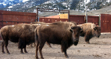 Why Yellowstone officials are forced to slaughter bison (+video)