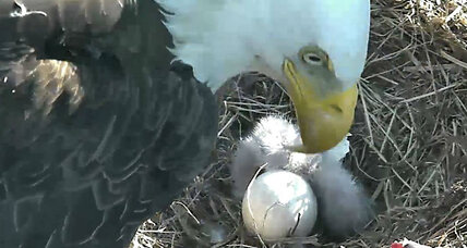 From eaglets to wildebeest: Wildlife cams offer intimate glimpse of nature