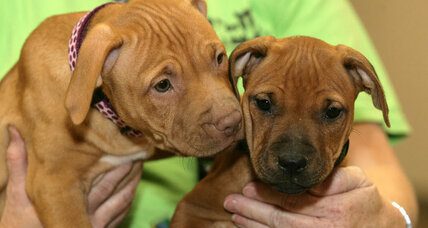 What breed is that pup? 'Pit bull' label may mean longer wait for shelter dogs.