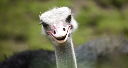 Ostrich could revolutionize the meat industry. But will Americans eat it?