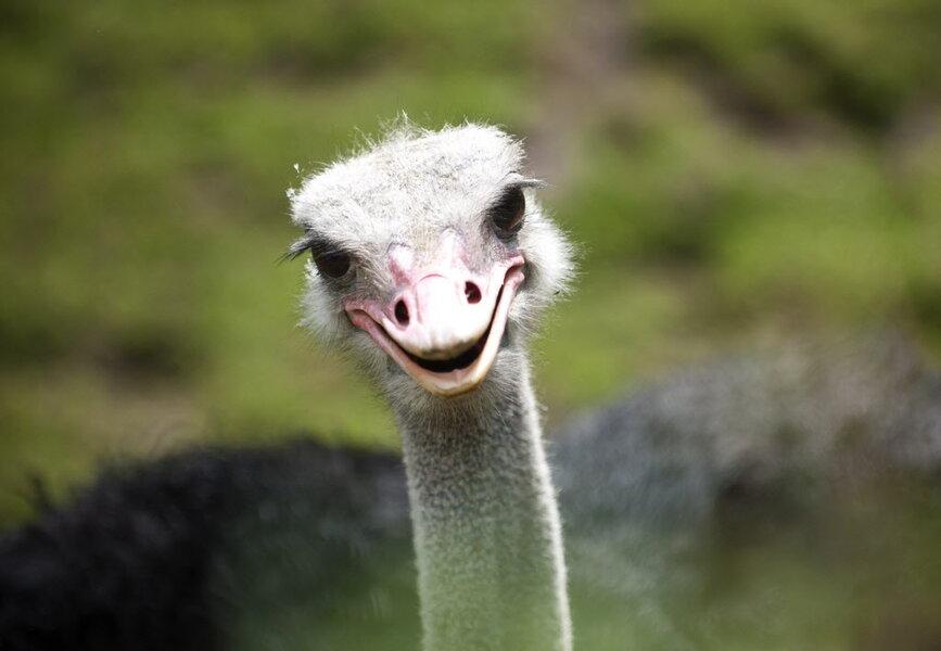 972476_1_0325-ostrich_standard.jpg?alias