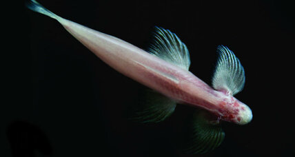 This fish can walk. What can it teach us about terrestrial evolution?