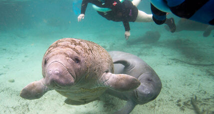 Should manatees come off the endangered species list? (+video)