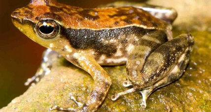 India's dancing frogs spend their tadpole years eating sand