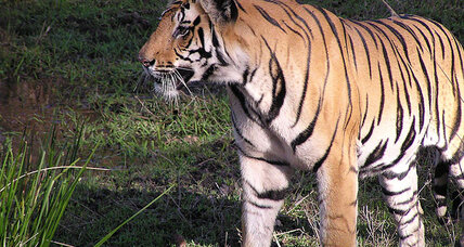 Satellite data shows new hope for endangered tiger populations