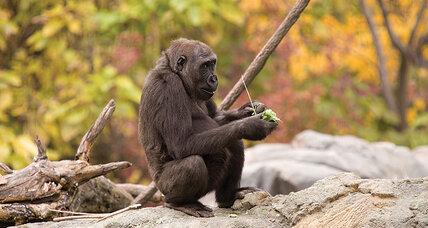 Scientists paint a more nuanced picture of the gorilla genome