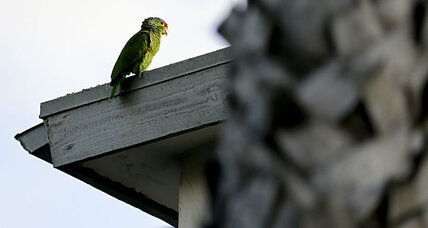 Red-crowned parrots find sanctuary in US cities as Mexican cousins struggle