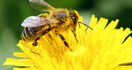 Maryland protects its pollinators with limits on bee-addicting pesticides