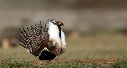 Sage grouse battle: A case of bad science?
