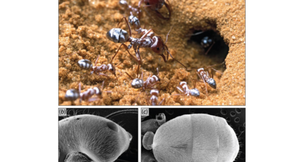 How Saharan desert ants use their silver hairs to keep cool