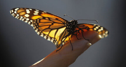 Scientists crack mystery of migrating monarch navigation