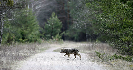 Is wildlife thriving in Chernobyl's radioactive landscape?