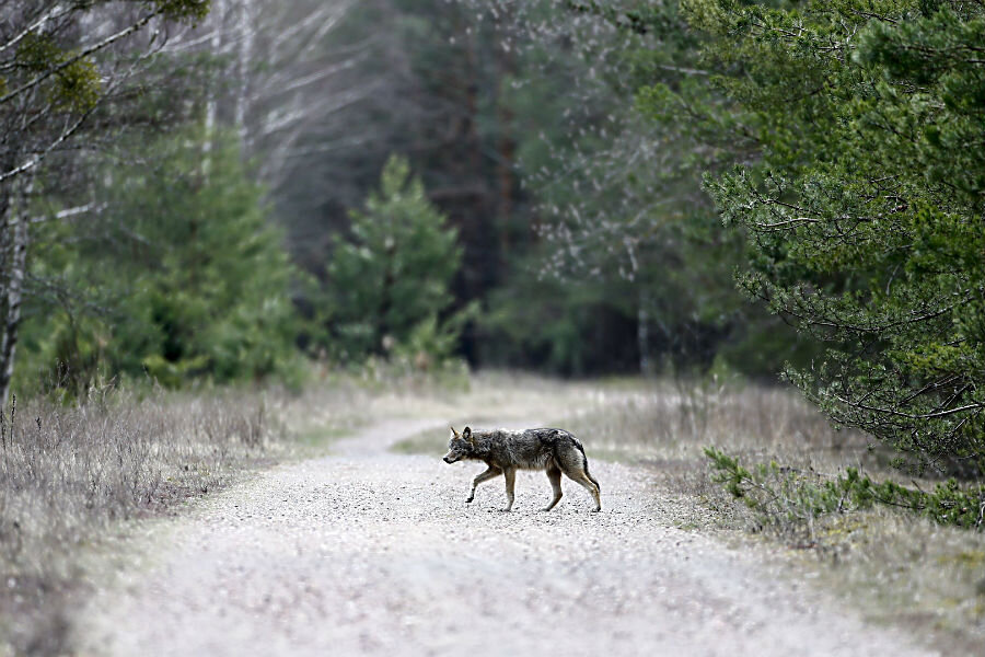 Is Wildlife Thriving In Chernobyl S Radioactive Landscape