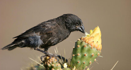 Darwin's finches are pecking their way through evolution