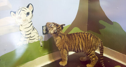 Escaped tiger cub captured by Texas authorities points to a broader issue