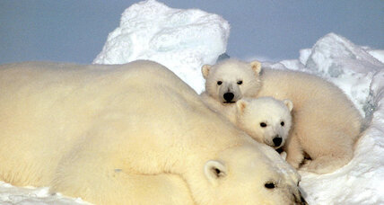 Polar bears now take longer, perilous swims to find habitable ice