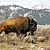Should North American bison be the US national mammal?