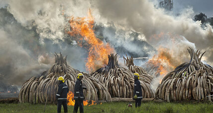 Why Kenya burned 11 giant piles of ivory tusks