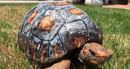 Tortoise injured in a forest fire gets a 3D-printed shell