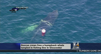 Foggy the whale entangled yet again. Can this danger be prevented?