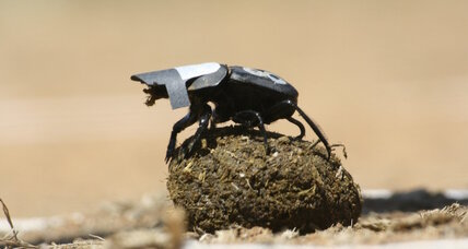 Why we have dinosaurs to thank for today's dung beetles