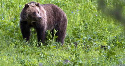 No longer endangered? Montanans prepare for grizzly bear hunt