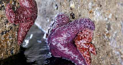 Baby starfish stage big comeback in waters off Oregon and California