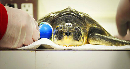 Yes, New York City has sea turtles and seals, and here's who's rescuing them