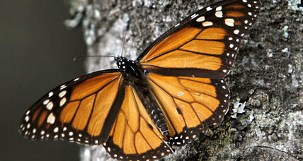Native American tribes pledge to save the monarch butterfly