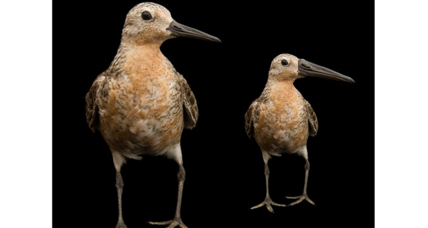 Climate change could be shrinking these Arctic birds