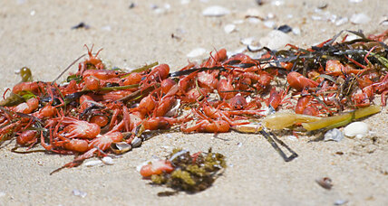 Why are hundreds of tiny red crabs swarming California beaches?
