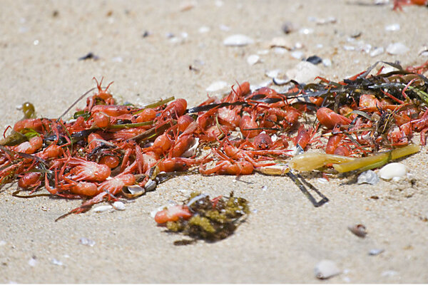 Red Crabs Are Scattered On The Beach After Being Washed Up Shore Along Huntington Dog Wednesday In Calif