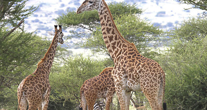 Giraffes: Why the long neck? Scientists crack evolutionary code