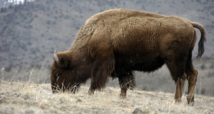 Don't pet the Yellowstone bison, or put them in your car
