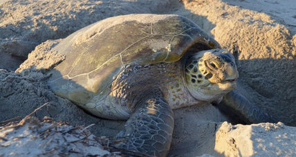 Iconic sea turtle nesting season off to a great start