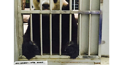 Why this Taiwan panda needed a 'proof of life' photo