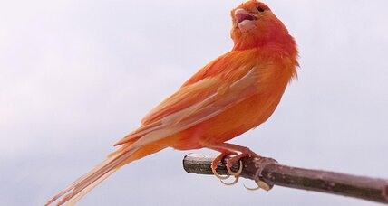 Why birds are red: Secrets of scarlet revealed in matching studies.