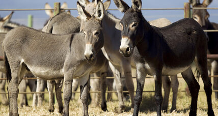 Why Hawaii is putting its last wild donkeys up for adoption