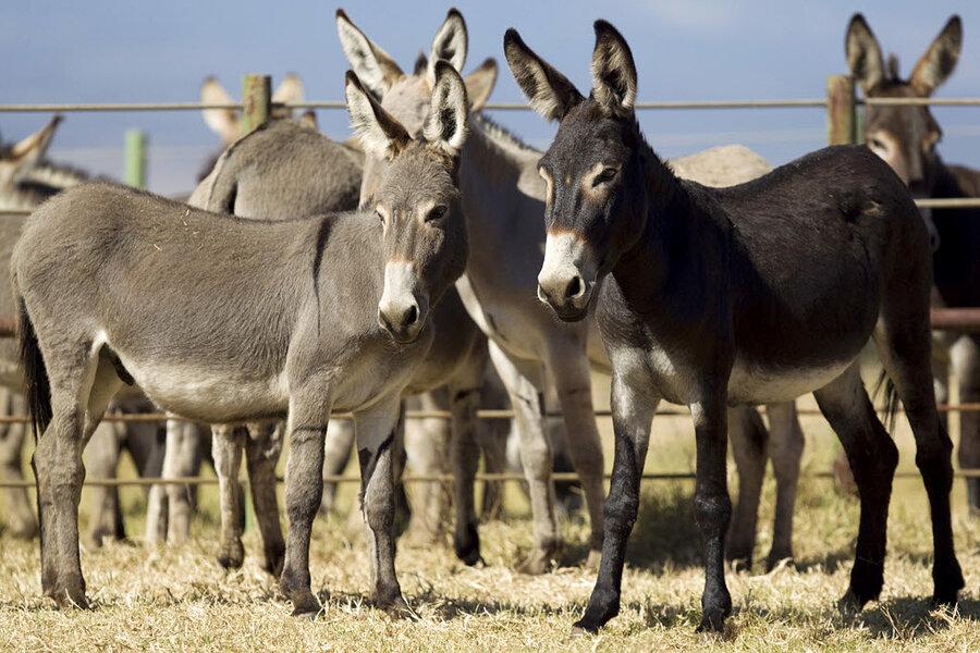 982155_1_05-20-Hawaii-Donkey-Adoption_standard.jpg