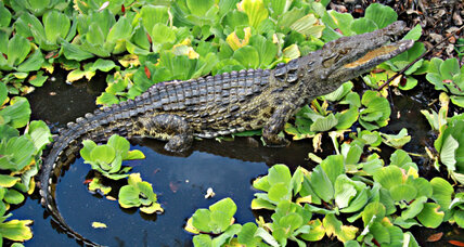 What discovery of Nile crocodiles could mean for Florida (+video)