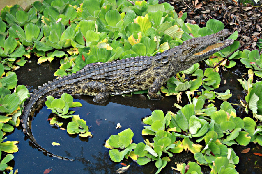 Alligators In Florida Map.Crocodiles Resurface In Florida Including On Beaches Csmonitor Com