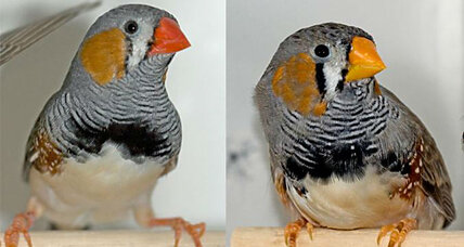 How did some birds become red? Scientists unravel clues.