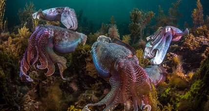 Squid, octopus, and cuttlefish are booming: Good news from the sea?
