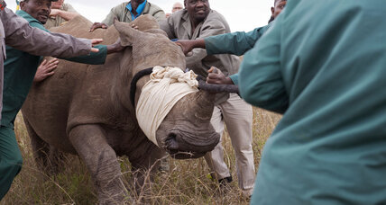 South Africa legalizes sales of rhino horn: Will this help save rhinos?